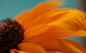 Обои цветок, макро, ораньжевый, лепестка