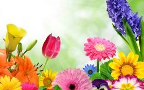 Обои лепестки, коллаж, лилия, тюльпан, гербера