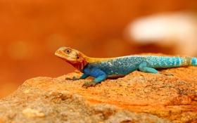 Обои природа, камень, цвет, ящерица