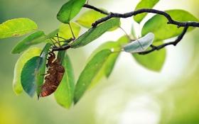 Картинка листья, насекомое, ветка, дерево