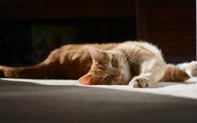 Обои кот, шерсть, рыжий, лежит, потягивается