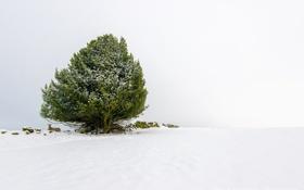 Картинка зима, снег, камни, дерево, животное, зеленое, овца