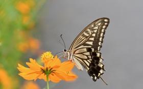 Обои цветок, оранжевый, космея, бабочка