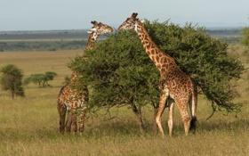 Обои дерево, жирафы, Танзания, Tanzania, Serengeti National Park