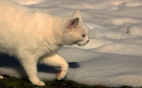 Обои снег, кошак, котяра, котэ