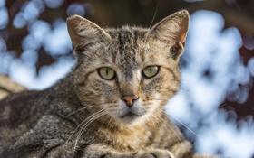Обои кошка, кот, взгляд, полосатый