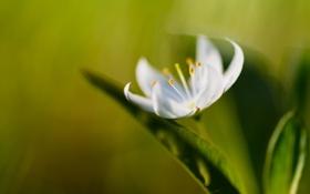 Обои листья, цветок, белый, растение, зелень, лепестки, макро