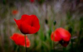 Обои поле, цветы, маки, бутоны, poppies, buds, field flowers