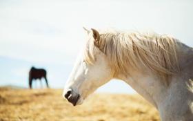 Картинка белый, конь, лошадь