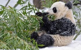 Картинка листья, панда, ветки, бамбук, зима, снег