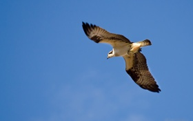 Картинка птица, сокол, небо, полёт
