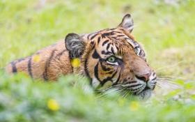 Обои усы, морда, тигр, дикая кошка