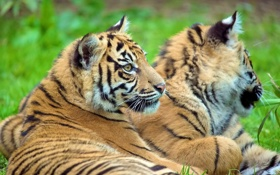 Картинка тигр, лежит, смотрит, тигрёнок
