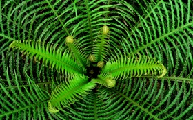 Картинка растение, листья, папоротник, зелень