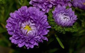 Обои лепестки, colorful, бутон, астра, цветение, сиреневая, flowers