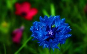 Обои цветок, синий, лепестки