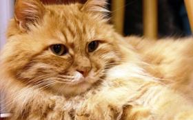 Обои кошка, кот, взгляд, пушистый, рыжий