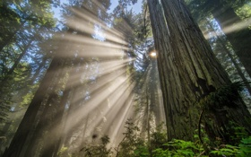 Обои light, forest, redwood