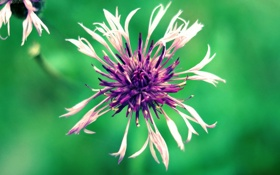 Обои фиолетовый, цветок, фото, фон, зеленый, макро