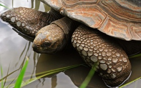 Картинка трава, вода, пруд, отражение, черепаха, панцирь