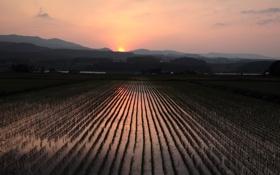 Обои закат, поле, рис