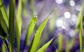 Картинка зелень, трава, капли, макро, природа, роса, фон