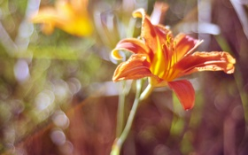 Обои цветок, лилия, лепестки