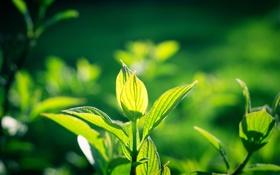 Обои листья, растение, зелень, листочки, солнце