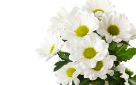Картинка белый фон, белые хризантемы, цветы
