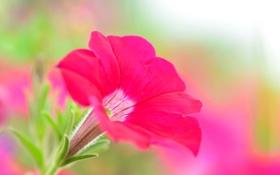 Обои цветок, краски, петуния