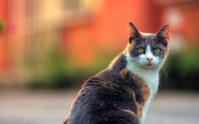 Картинка кот, взгляд, фон
