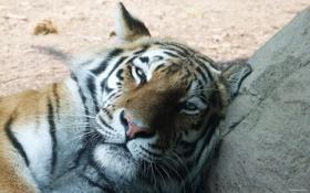Обои кот, рыжий, большой, тигр, дремлет