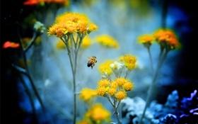 Картинка цветы, пчела, растение, насекомое