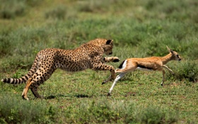 Картинка природа, леопард, охота