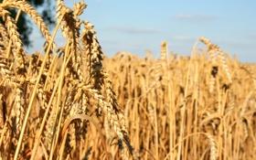 Картинка crop, wheat, seeds