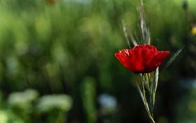 Картинка цветок, мак, лепестки, красный