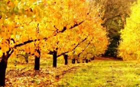 Обои осень, природа, сад, золотой
