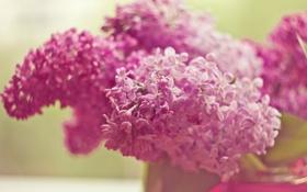 Обои розовый, сирень, цветы