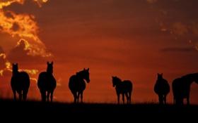 Картинка закат, кони, лошади, идут, стоят, пасутся, на поле