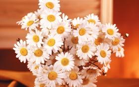 Картинка фото, Цветы, Ромашки, Букет