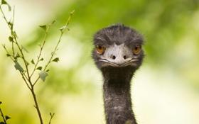 Картинка взгляд, фон, клюв, страус