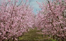 Картинка природа, весна, сад, цветение