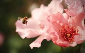 Картинка цветы, пчела, насекомое, розовые
