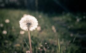 Картинка трава, одуванчик, луг, поле, зелень, макро