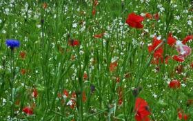Картинка поле, трава, цветы, маки, луг
