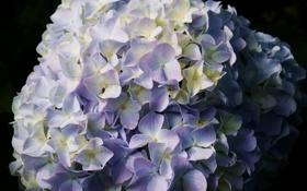 Обои цветок, шапка, голубая, гортензия, соцветие