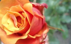 Обои макро, цветы, Роза, оранжевая