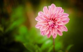 Картинка цветок, лепестки, размытость, розовые, георгин