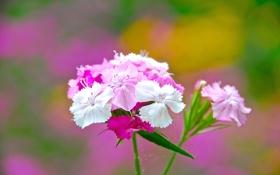 Обои цветы, природа, лепестки, стебель, соцветие