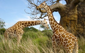 Обои африка, трава, пара, жирафы